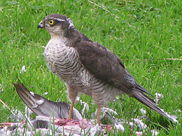 Sparrow-hawk with prey (rock dove)