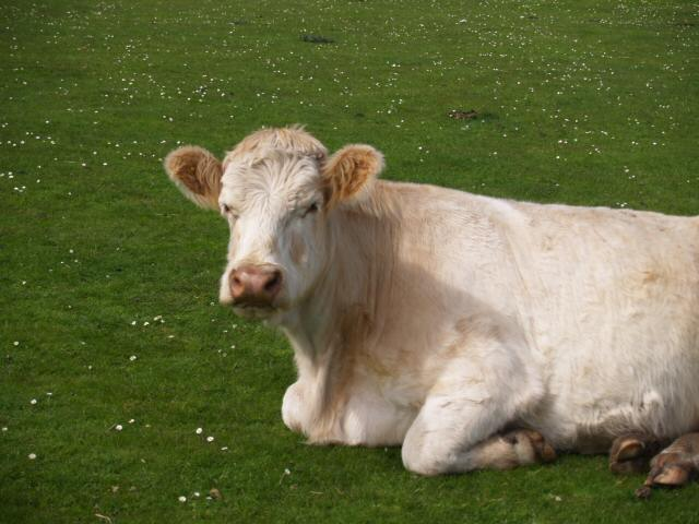 White cow near Fidden